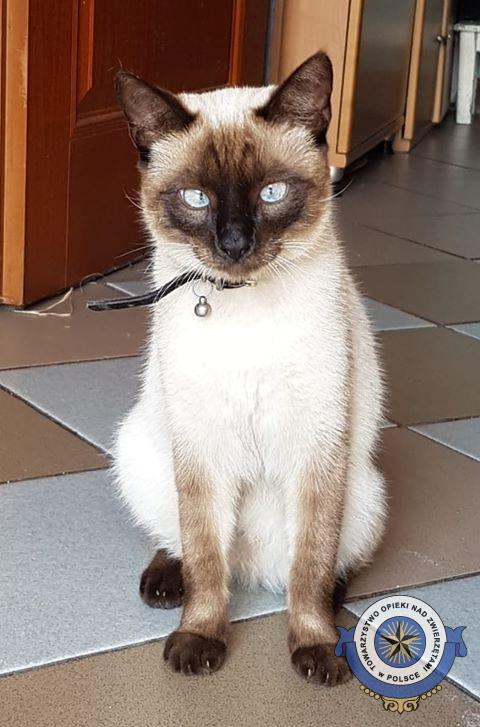 Szukamy kota syjamskiego