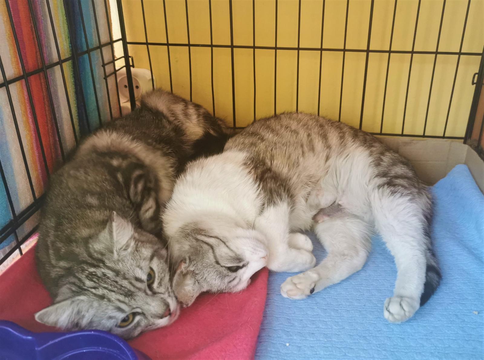 Dwie srebrne kotki