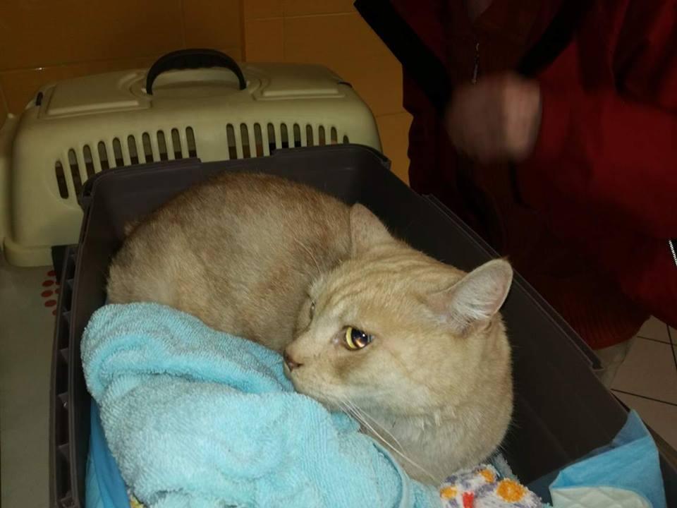 Znaleziono kota w typie brytyjczyka - właścicielka zgłosiła się po kota.