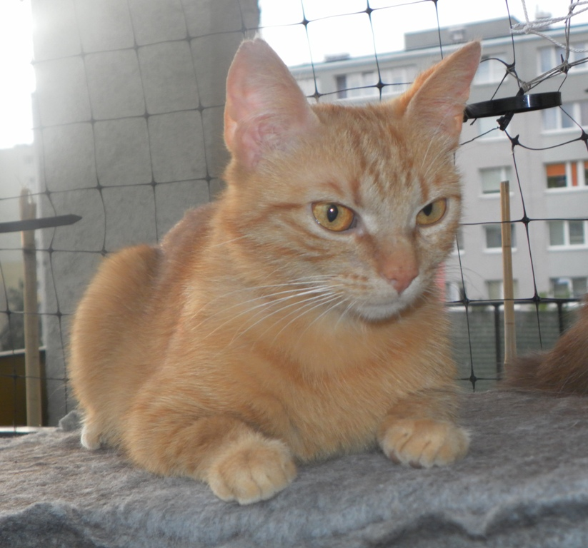 Ambi - kotka sterylizowana, ok 1,5 roku