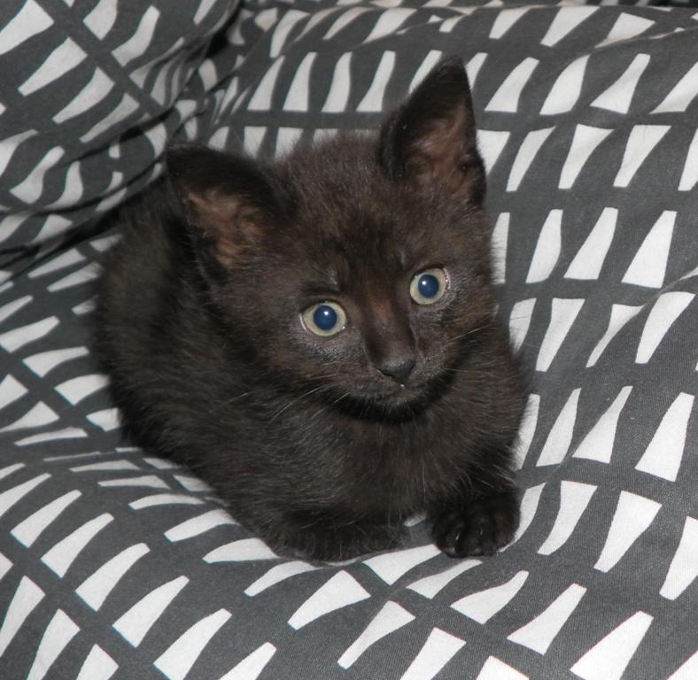 Czelsi - kotka , dwa miesiące