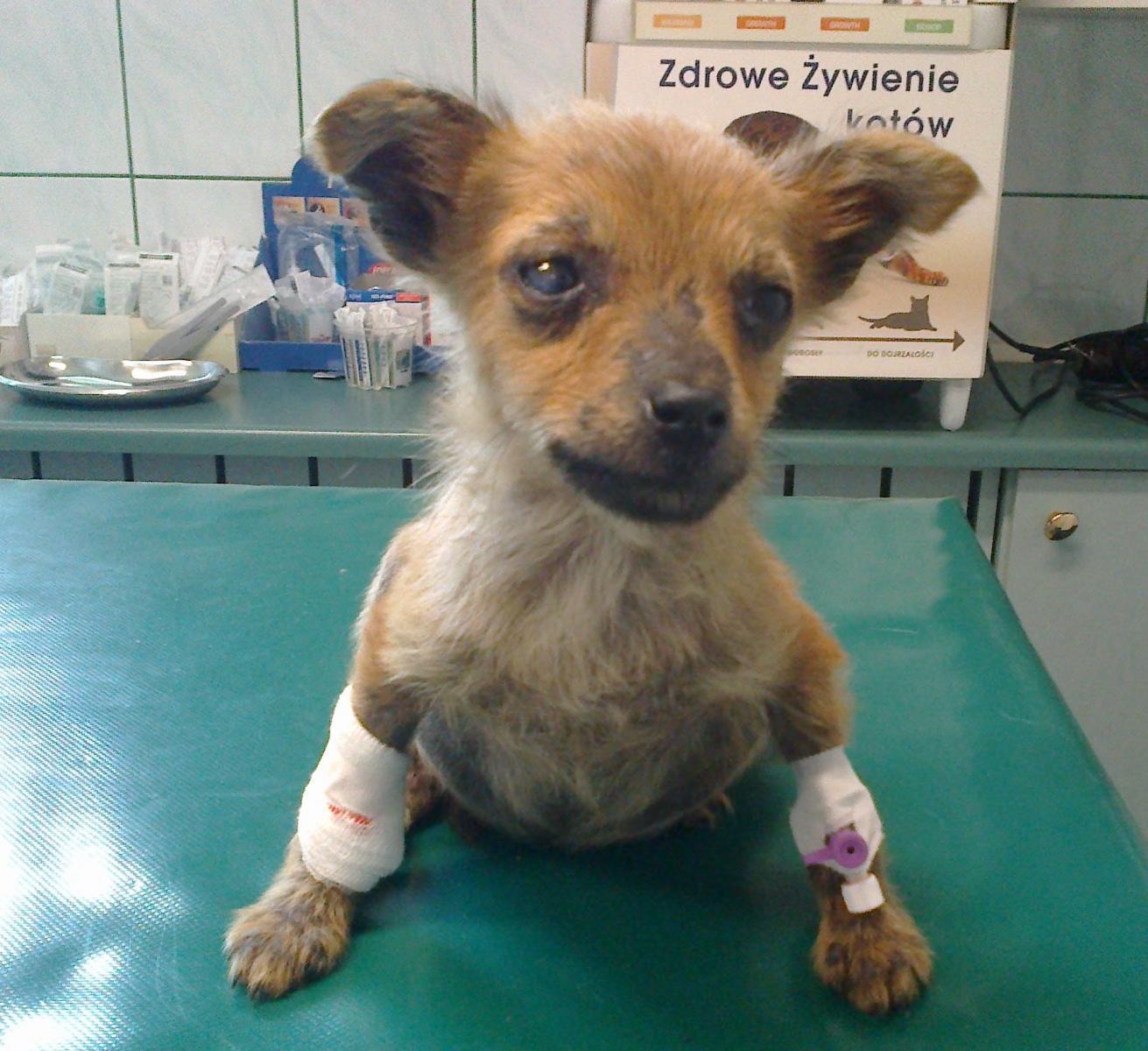 Błąkający się po bezdrożach Suwalszczyzny samotny chory szczeniak - Malinka