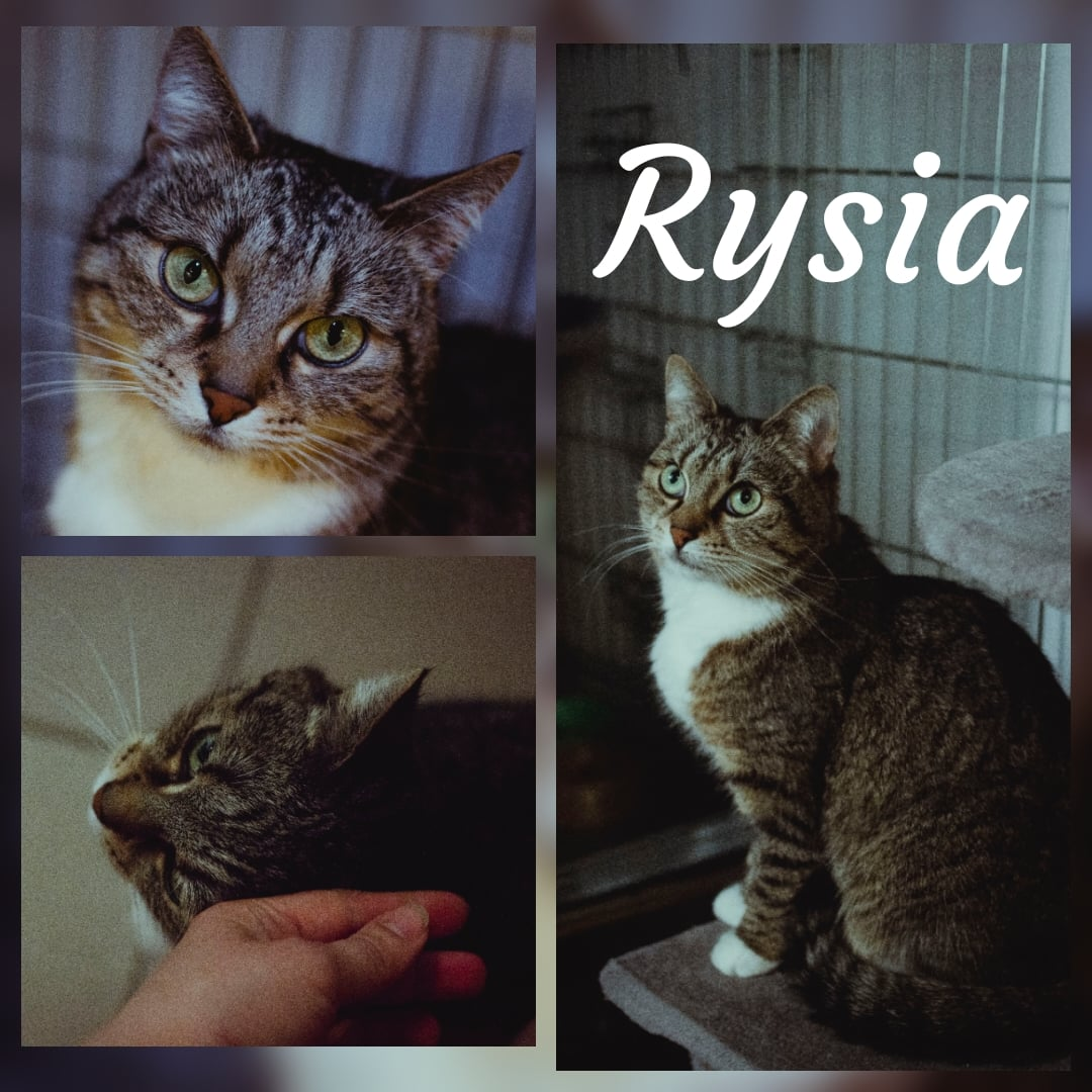 Rysia
