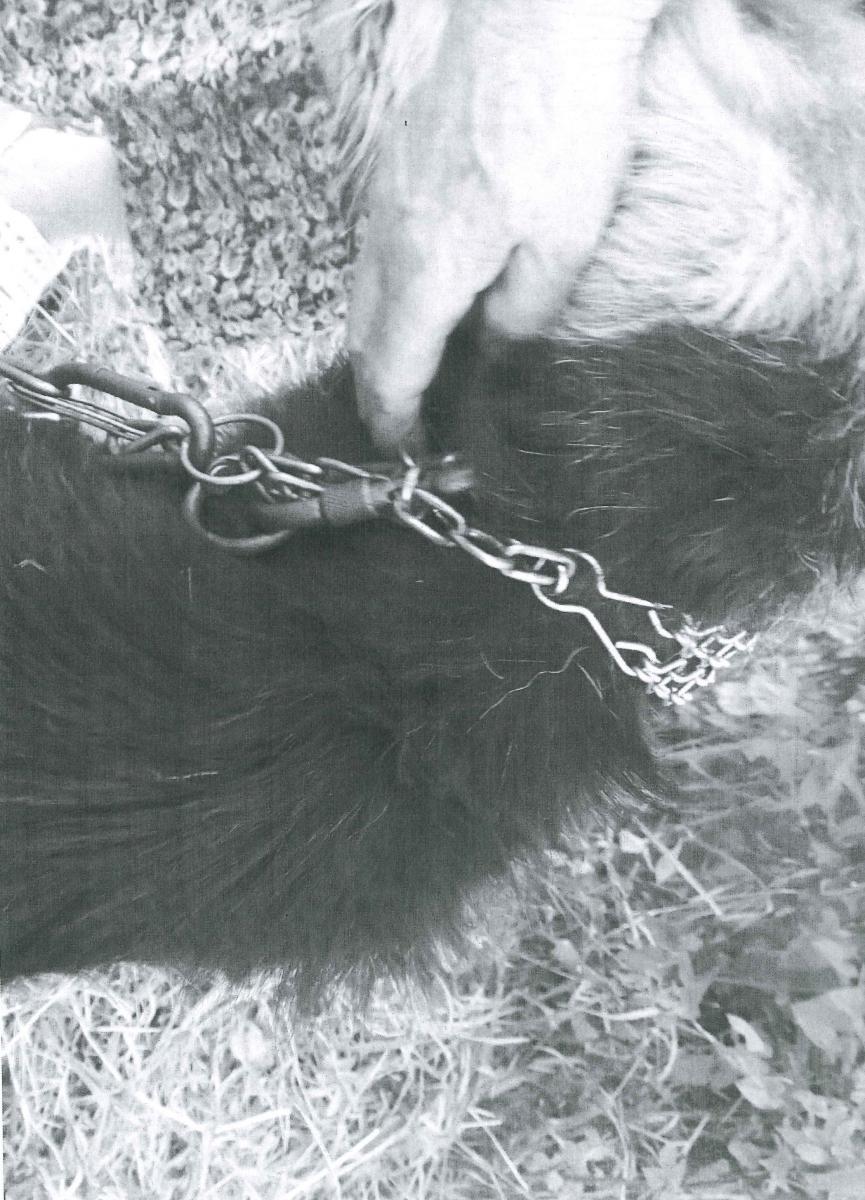 Ciężki łańcuch, kolczatka i 2 karabińczyki utrzymujące po 250 kg, na szyi psa ważącego ok. 20 kg.
